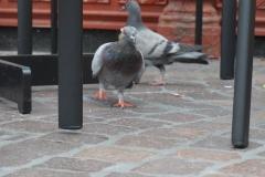 Tauben im Glück