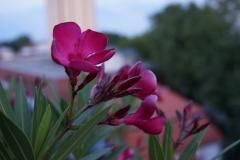 Orleanderblüten