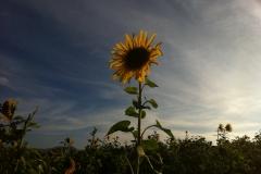 Blumengrüße - Sonnenblume