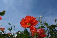 Blumengrüße - Mohnblume
