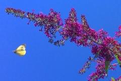Zitronenfalter im Anflug