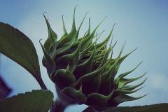 Geschlossene Sonnenblume