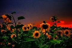 Sonnenblumenacker