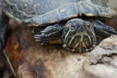 Schildkröte face to face
