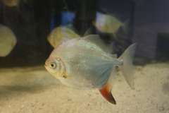 Fischglanz