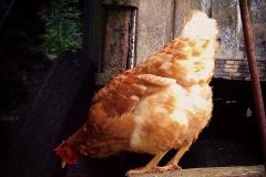 So ein Huhn!