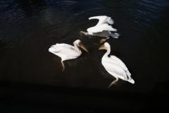 Schwebende Pelikane