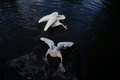 Grundelnde Pelikane