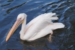 Pelikan in Pracht