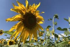 Blumengrüße - Sonnenblumen