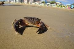 Achtung! Krabbe an der Adria