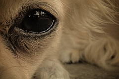 Emma - Mundwerk Chihuahua