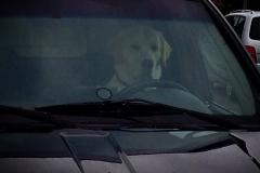 Hund am Steuer!