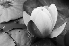 Seerosenblüte